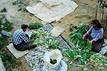 Séchage du tabac , Bulam (photo anne guezengar)