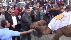 ceylanpinar Atilla Menderes sacrifice chameau